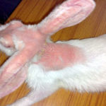 Mange infection in Rabbit