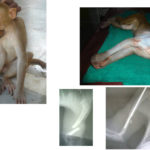 Humerus Fracture in Monkey