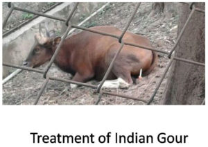 Treatment of Indian Gour