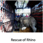 Rescue of Rhino