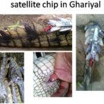 satellite chip in Ghariyal