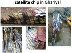 satellite chip in Ghariyal